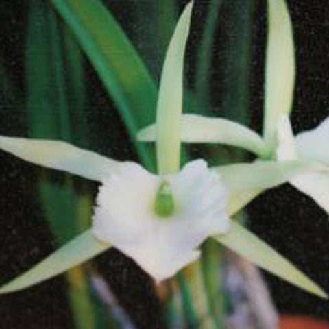 "B. Jimminey Cricket `Super Bug' HCC/AOS 4.5"" Pot - Waldor Orchids"