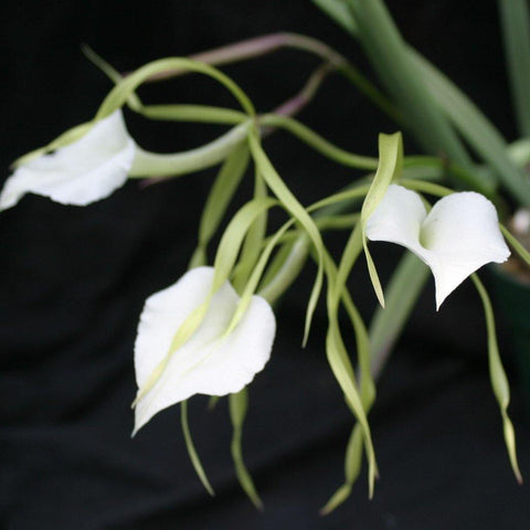 "B. nodosa (`Susan Fuchs' FCC/AOS x `Mas Major' AM/AOS) 3x4"" Mount - Waldor Orchids"