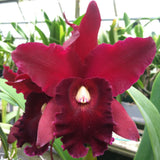 "Blc. (Lc. Maria Ozzella `Men' AM x Chia Lin `New City' AM) Seedling 2.5"" Pot"