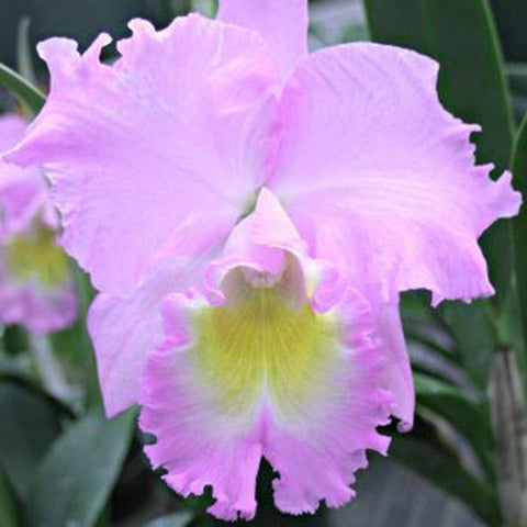 "Bc. Hawaiian Agenda  'Florida Winter' 4"" Pot - Waldor Orchids"