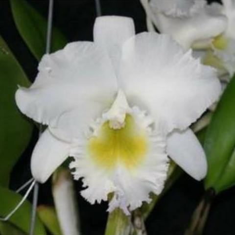 "Bc. Pastoral `Innocence' AM/AOS 3.5"" Pot - Waldor Orchids"