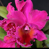 "Blc. (Magic of Mishima `VQ' x Star of Bethlehem `TO') Seedling 4"" Pot"