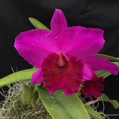"Blc. Black Forest `Dark Splendor' 4"" Pot"