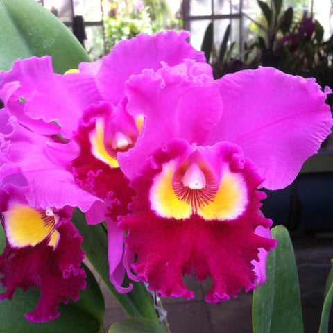 "Blc. Chance the Chance `Kiramaki' 5"" Pot - Waldor Orchids"