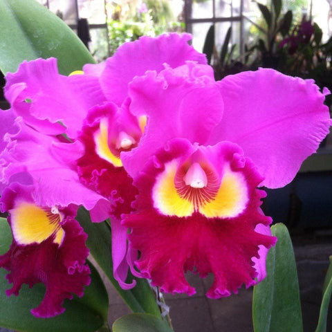 "Blc. Chance the Chance `Kiramaki' 4"" Pot - Waldor Orchids"