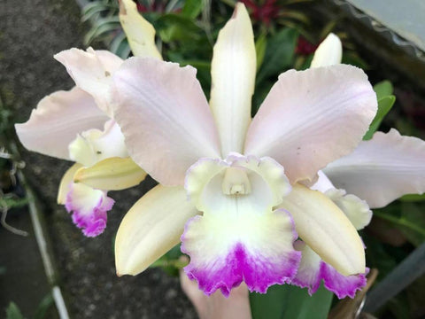 "Blc. Clayton's Uncle Joe Seedling 4"" Pot"