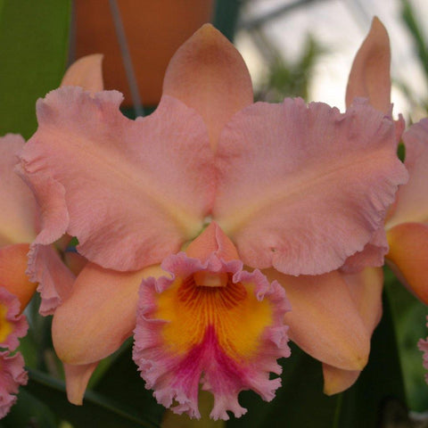 "Blc. George King `Serendipity' AM/AOS 4"" Pot - Waldor Orchids"