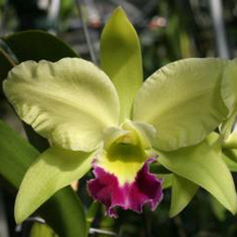 "Blc. Greenwich `Elmhurst'  AM/AOS 4"" Pot - Waldor Orchids"