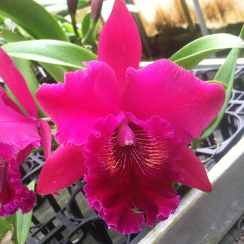 "Blc. Haw Yuan Rose `NN' AM/AOS 4"" Pot - Waldor Orchids"