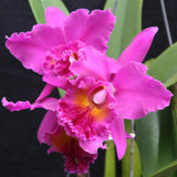 "Blc. (Magic of Mishima `VQ' x Murray Spencer `ASD') Seedling 3.5"" Pot"