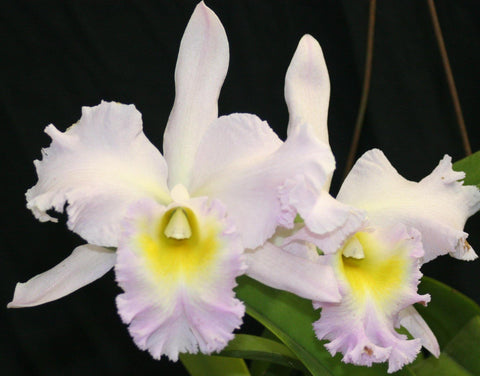 Blc. Nacouchee `Mission Valley' AM/AOS - Waldor Orchids