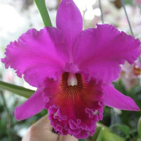 "Blc. Norman's Bay `Low' AM, FCC/AOS 5"" Pot - Waldor Orchids"
