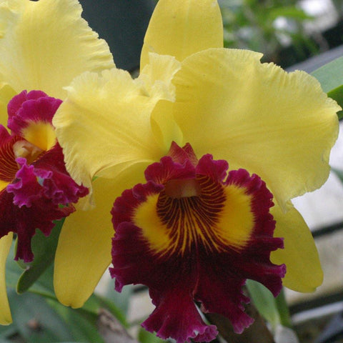 "Blc. Williette Wong `The Best' AM/AOS 5"" Pot - Waldor Orchids"