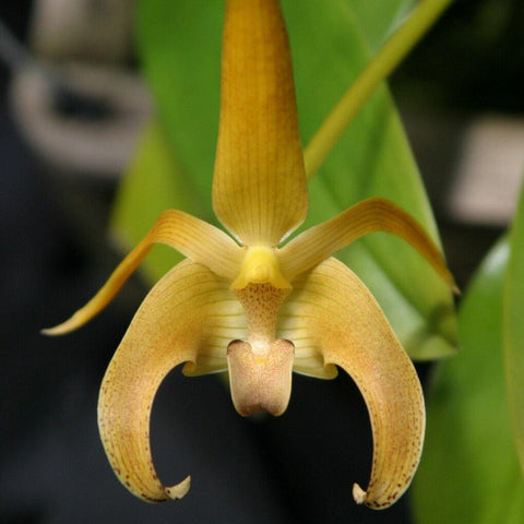 "Bulbophyllum lobbii `Kathy's Gold' AM/AOS 4 "" Pot - Waldor Orchids"