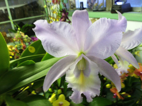 "C. Sea Breeze `Blue Ribbon' HCC, AM/AOS Cattleya Orchid 4"" Pot"