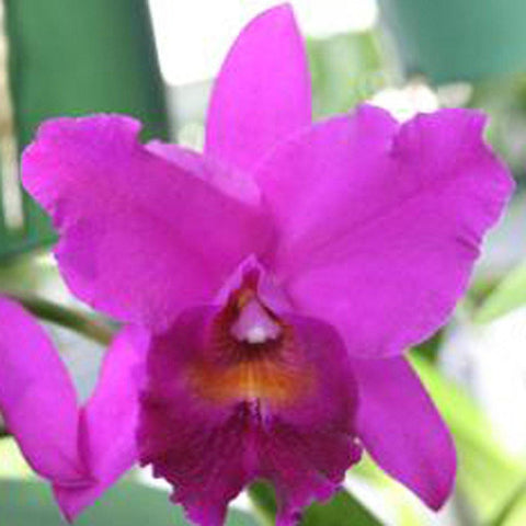 "C. Penang `Black Caesar' AM/AOS 5"" Pot - Waldor Orchids"