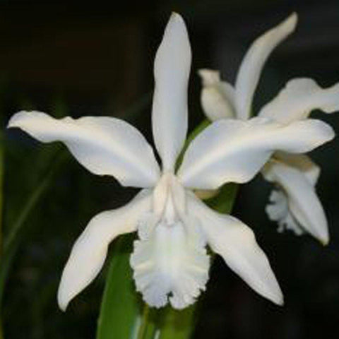 "C. intermedia alba `Penn Valley' AM/AOS 5"" Pot - Waldor Orchids"