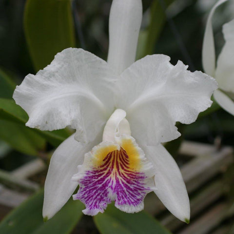 "C. lueddemanniana var. semi alba (Treated for 4N) (species) 2"" Pot - Waldor Orchids"