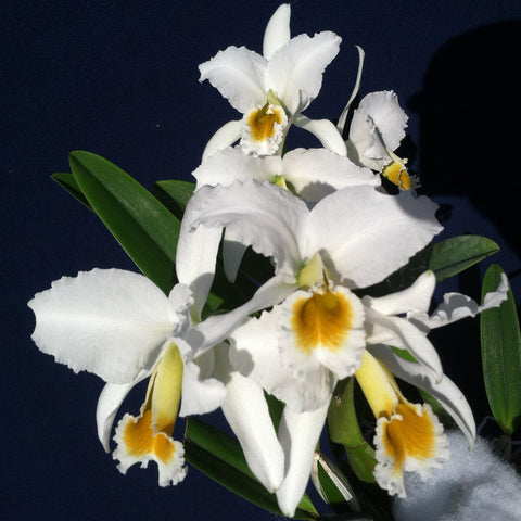 "C. percivaliana alba (`Canaima's Malandro' x Select) Seedling Species 3"" Pot"