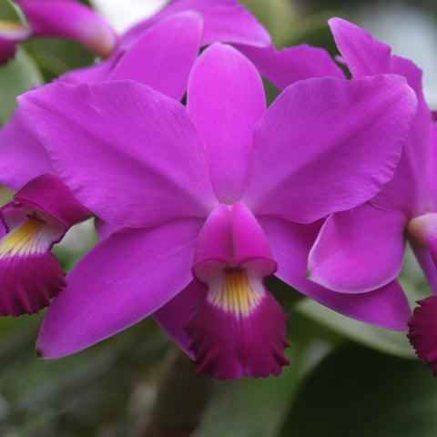 "C. Classic (violacea `Muse' FCC x walkeriana `MIO' AM) 2"" Pot Cattleya"
