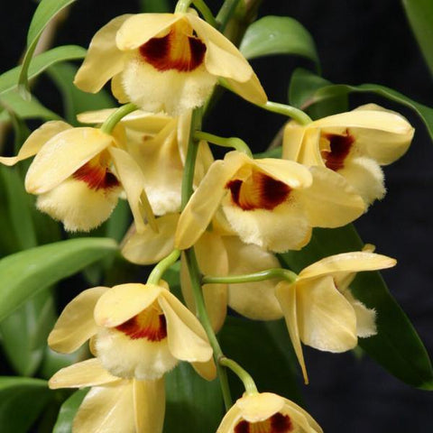 "Den. moschatum `Crystal' 2 1/2"" Pot - Waldor Orchids"