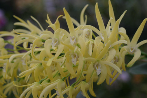 "Den. speciosum Dendrobium (species) 4"" Pot"