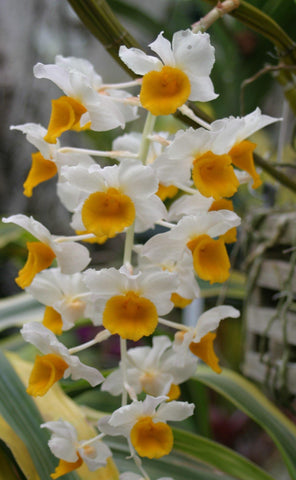 "Dendrobium thrysoflorum Species 4"" Pot"