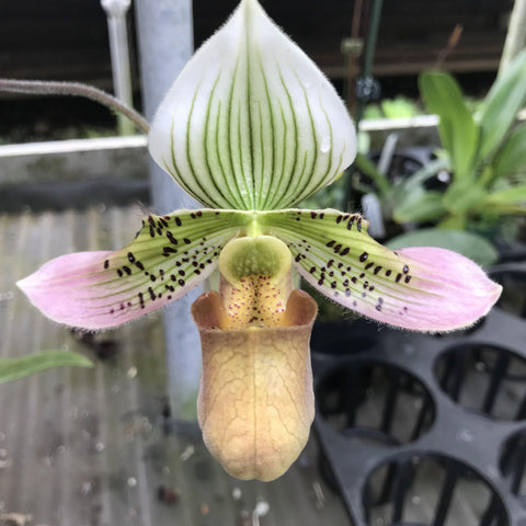 "Paph. Pink on High Paphiopedilum 4"" Pot"