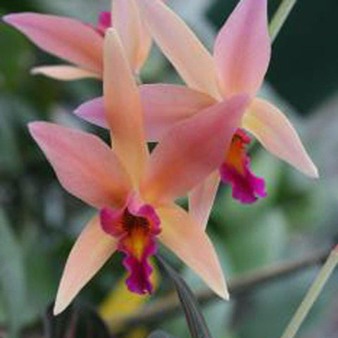 "L. Santa Barbara Sunset  `Showtime' HCC/AOS 2.5"" Pot - Waldor Orchids"