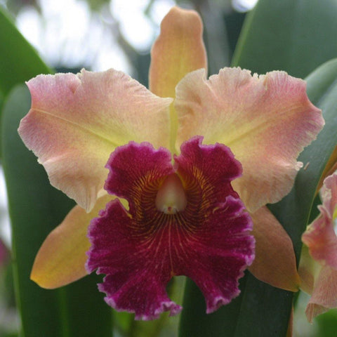 Lc. Lee Langford `Copper Queen' HCC/ODC
