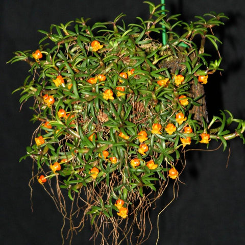 "Mediocalcar decoratum `Waterfield' 2.25"" Pot - Waldor Orchids"