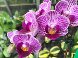 "Phalaenopsis Sogo Vivien `Golden Leaves' 3"" Pot"