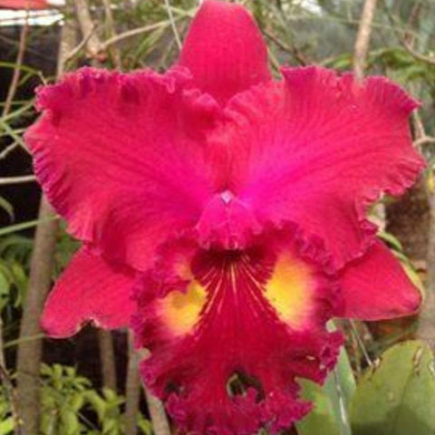 "Blc. Ahchung Ruby `Red Ribbon' 5"" Pot"