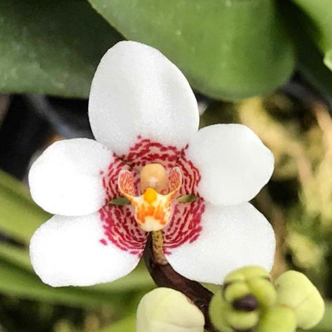 "Sarcochilus (Royal Red x Camira White) 2.5"" Pot (Single Growth)"