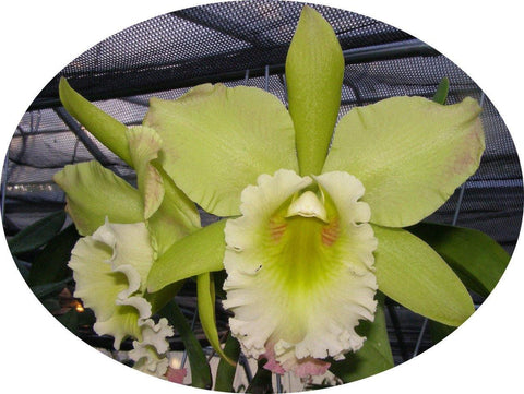 "Blc. Orchidom Green Glade `Shugetsu' AM/AOS 2.25"" Pot - Waldor Orchids"