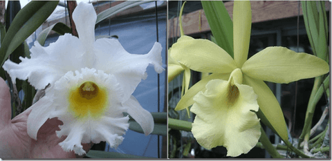 "Blc. (Xandosa x Mount Hood `Mary' AM/AOS) Seedling 4"" Pot"