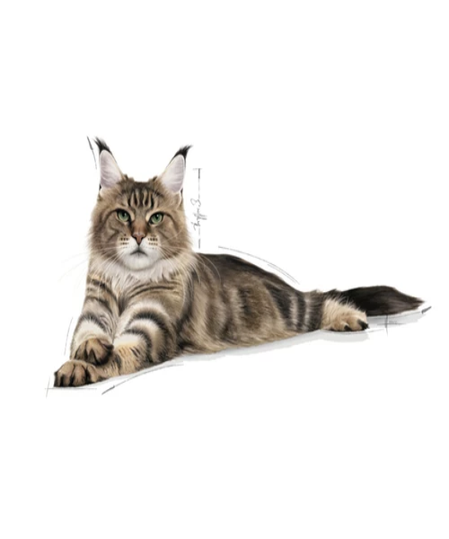 Royal Canin Maine Coon Adult Cat Food - Pet Mall