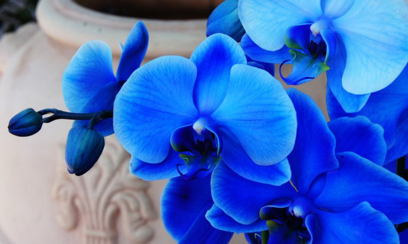 Magic Blue Orchid