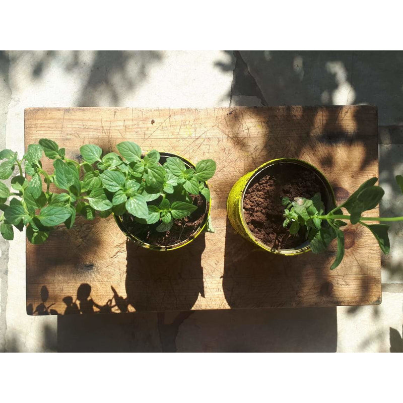Lemon Mint Plant