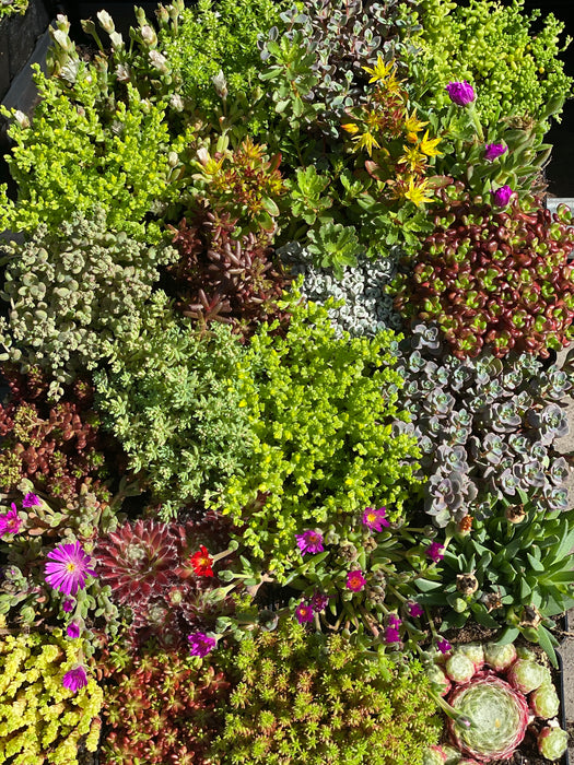 Alpine & Rockery Mix