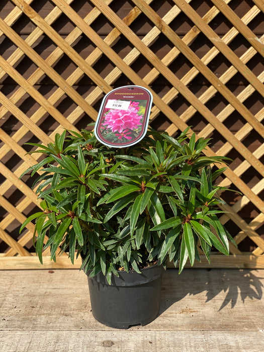 Rhododendron 3L