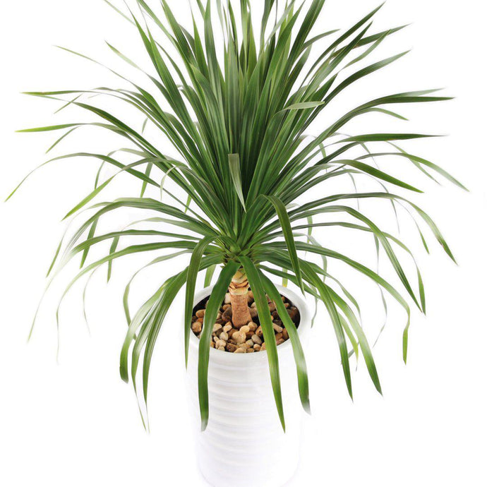 Thai Dragon Tree - Dracaena Cochinchinensis Seeds-Seeds-Seed n Sow