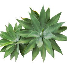 Load image into Gallery viewer, Fox Tail Agave - 15 Agave Attenuata Indoor House Plant Seeds