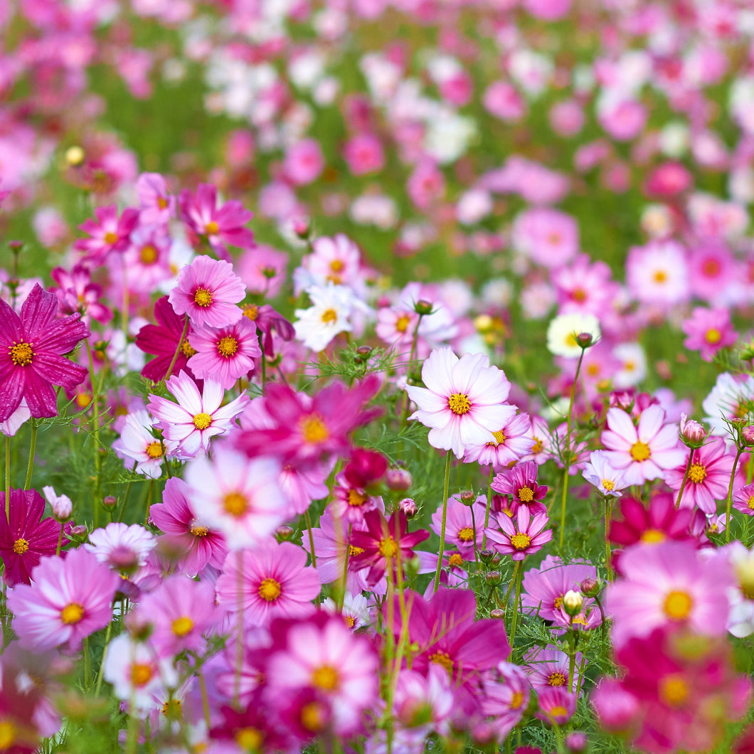 Mixed Cosmos Flower Seeds - 10 Seeds Per Pack