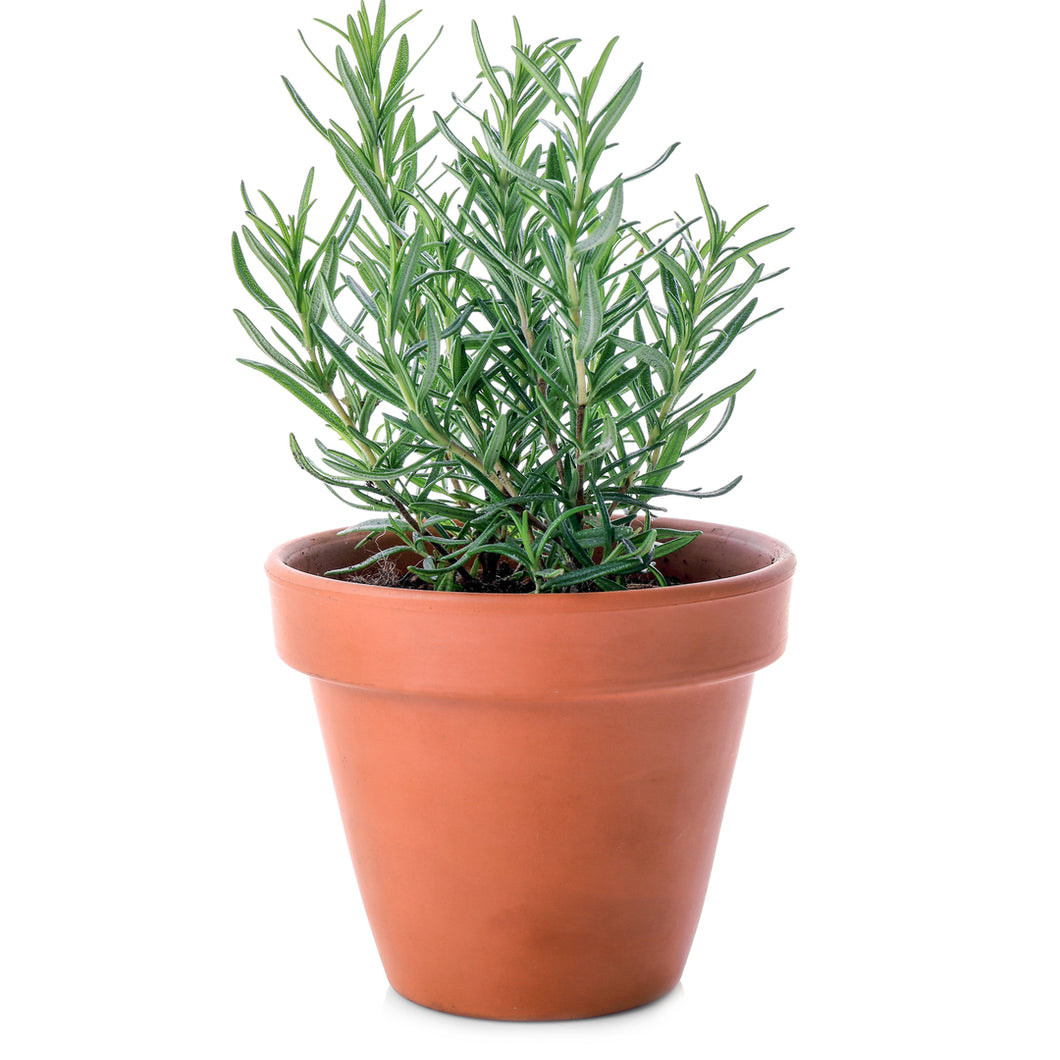 Organic Rosemary Herb Seeds - 70 Per Pack