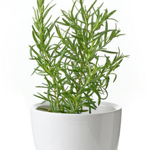 Load image into Gallery viewer, Organic Rosemary Herb Seeds - 70 Per Pack