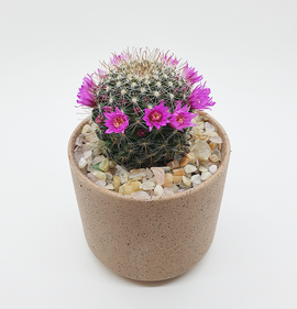 Mammilaria Zeilmaniana with Peach Moonstone