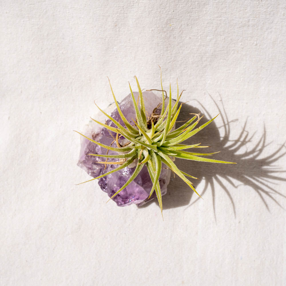 crystal air plant amethyst