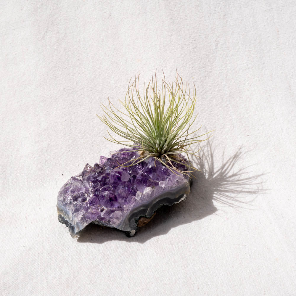 crystal tillandsia