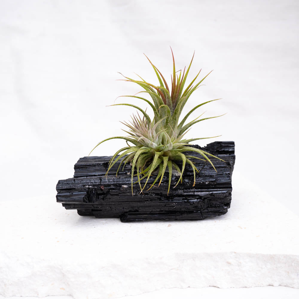 black tourmaline with air plant